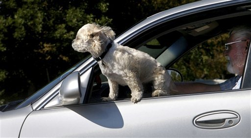 Dog hanging out of moving car